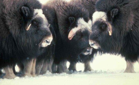 muskox, up-close, animals, winter