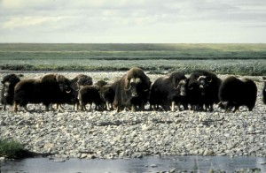 musk cattle, Arctic, wilderness, refuge