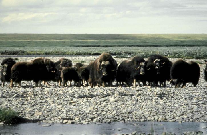 musk cattle, Arctic, wilderness, refuge