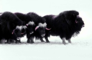 Arktis, Säugetiere, Moschus Rinder