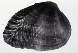 birdwing, pearly, mussel, lemiox, rimosus, conradilla, caelata