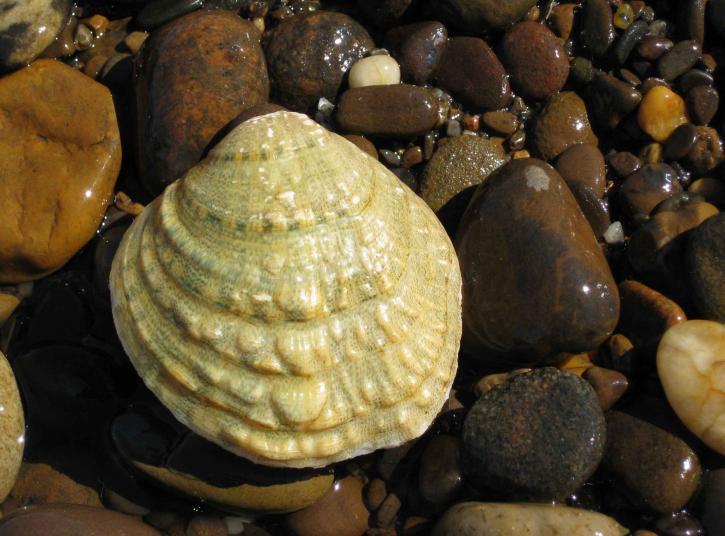 fanshell, mussel, cyprogenia, stegaria