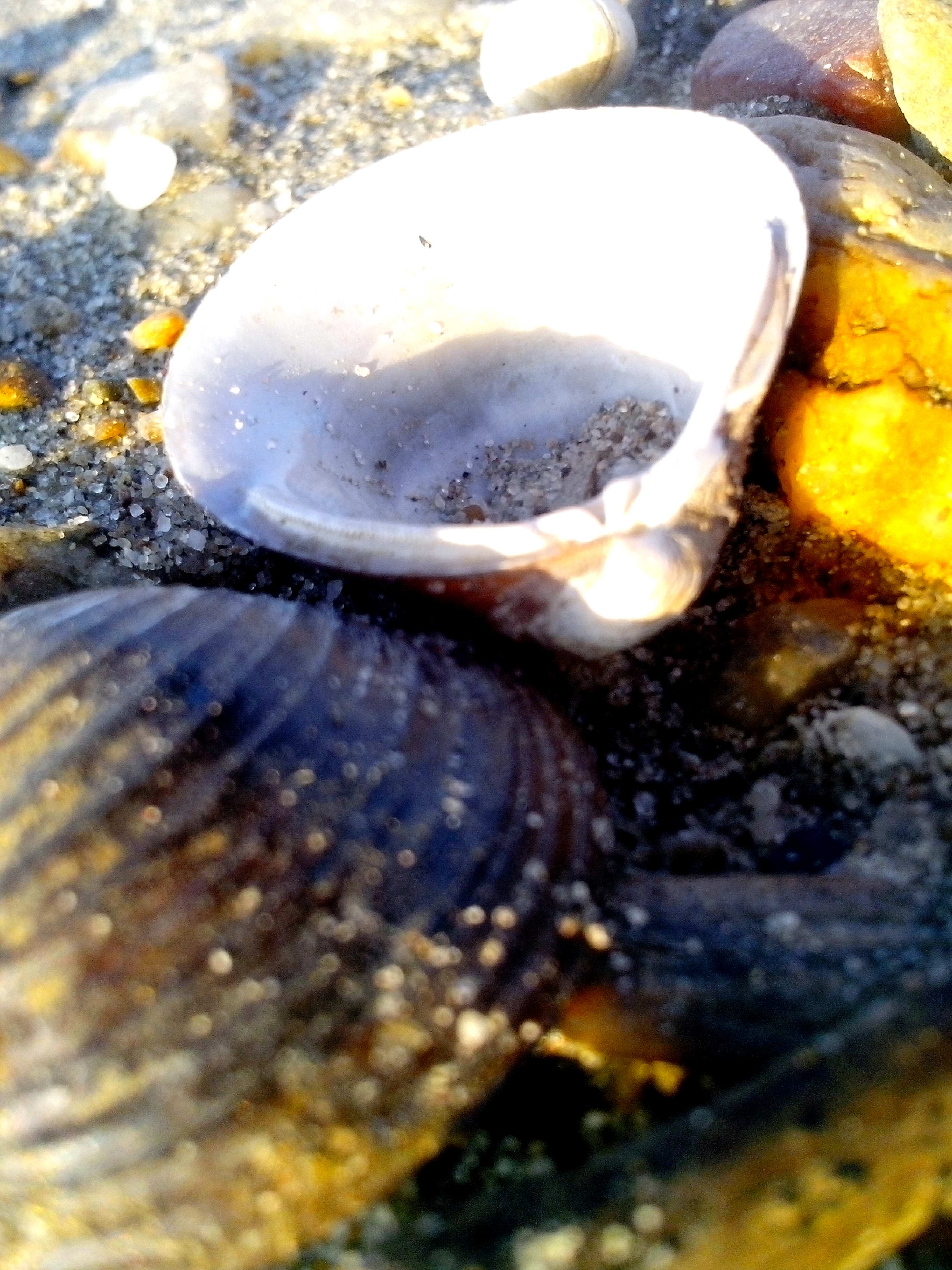 Free photograph; freshwater, mussels, river