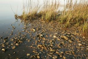 Marsh, oyster kuoret