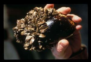 ゼブラ、ムール貝、dreissena、やわらかく、ネイティブ、ムール貝