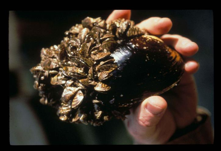 ngựa vằn, trai, dreissena, polymorpha, nguồn gốc, mussel