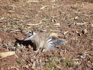 numbat, animal, myrmecobius, fasciatus