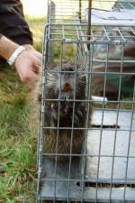 caged, nutria, awaits, tagging