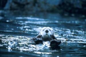 Enhydra, lutris, bonito, mar, animais, Lago lontra,
