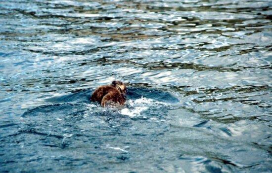 enhydra lutris, sea, oter, swimming