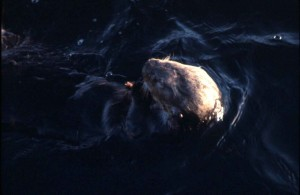 enhydra lutris, mar, nutria, de cerca, foto