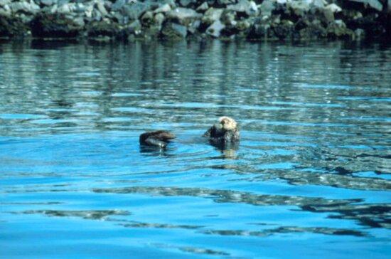 enhydra lutris, sea, otter, lake