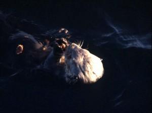 Enhydra lutris, moře, vydra, mořský savec, zavřít