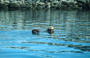 enhydra, lutris, sea, otter, swimming, water, eating