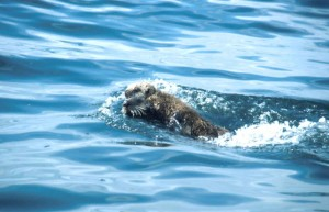 fast, swimming, sea, otter, enhydra, lutris