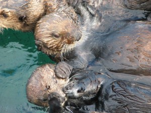 group, sea, otter, animals
