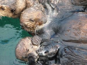 group, sea, otter, animals