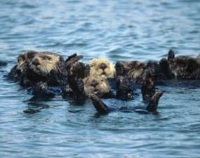 group, sea, otters, enhydra, lutris