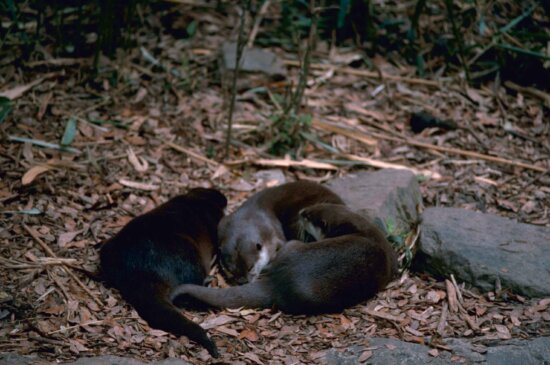 river, otters