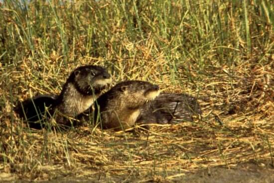 river, otters, grass, waater