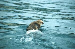 sea, otter, animal, enhydra, lutris