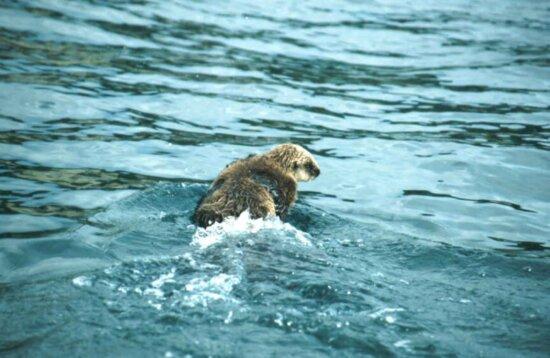 sea, otter, animal, enhydra lutris