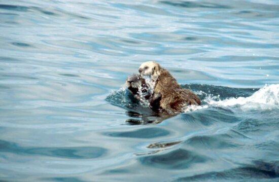 sea, otter, animal, waer, enhydra lutris