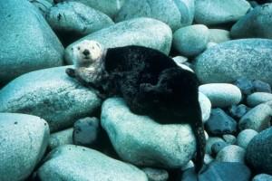 sea, otter, marine mammal, enhydra, lutris
