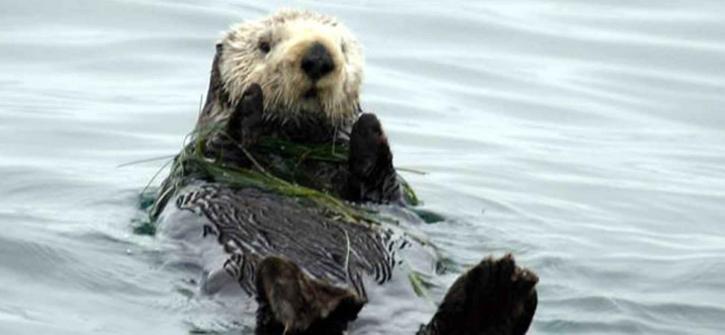 sea, otter, animal, enhydra lutris, enhydra lutris, nereis