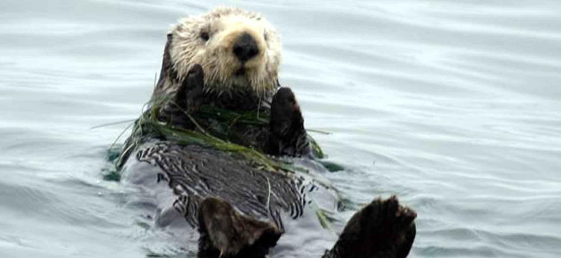 Kostenlose Bild: Meer, Otter, Tier, enhydra lutris, enhydra lutris ...