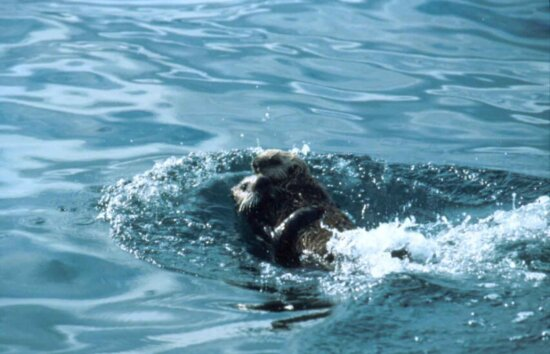two, sea, otters, swimming, together, enhydra lutris