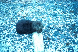 young, sea, otter
