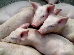 domestic pigs, piglets
