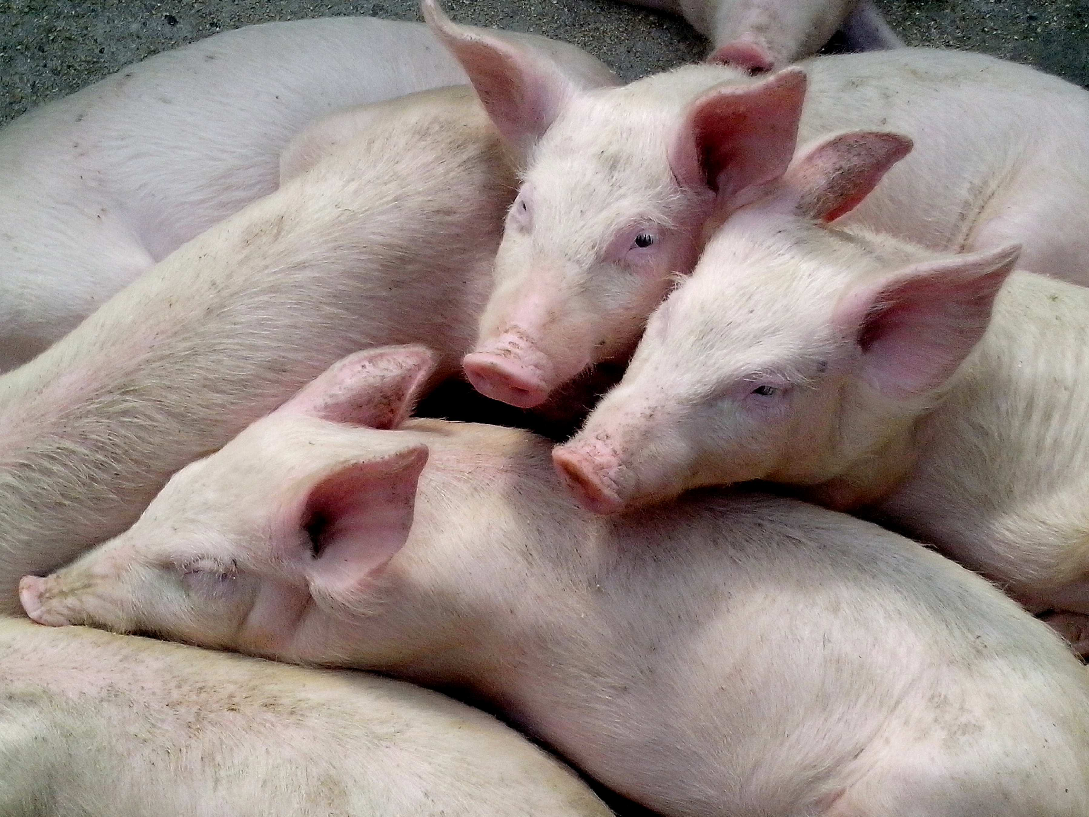 Free photograph; domestic, pigs, piglets