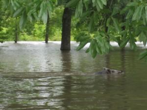 luonnonvaraisten, uinti