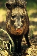 peccary, javelina, wild, boar, skunk, pig, tayassu, tajacu