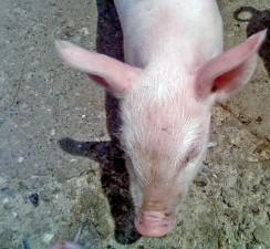 pig, head