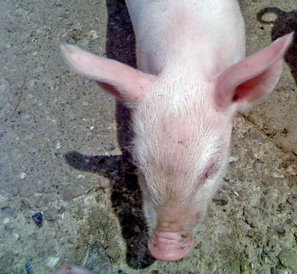 varken, hoofd