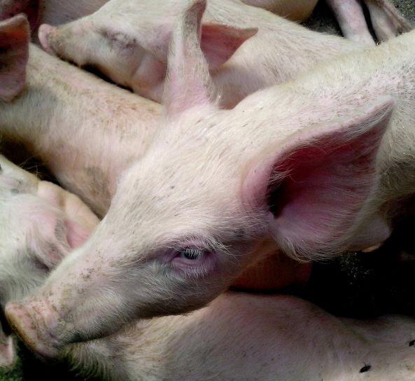 piglet, head, close