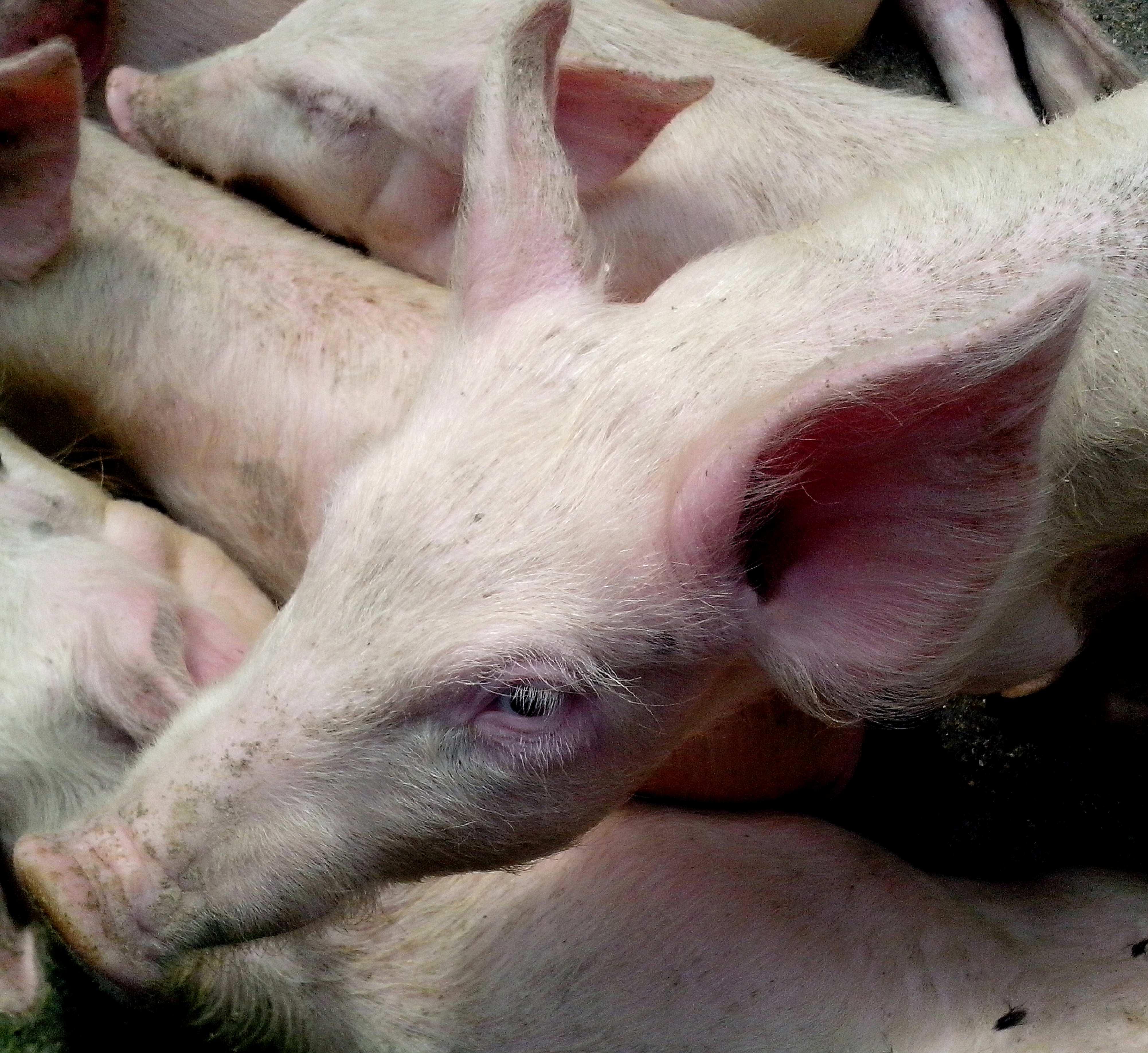 Free photograph; piglet, head, close
