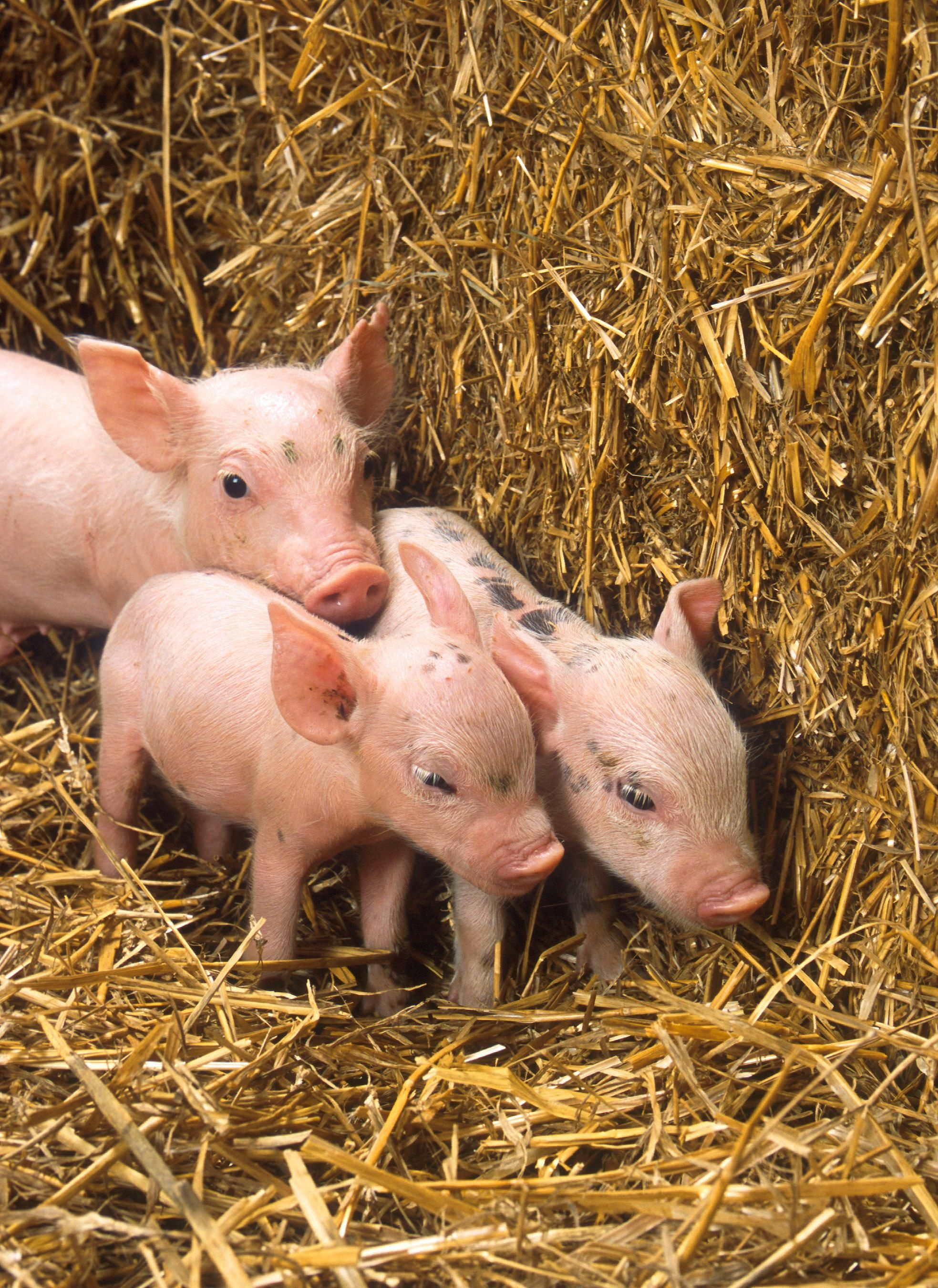 free picture piglets small cute pigs