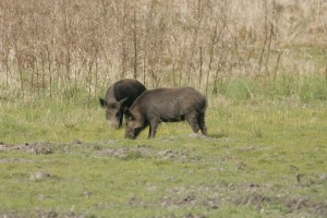 two, wild, boars, scrofa