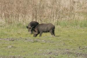 two, wild, boars, scrofa