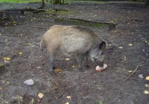 wild, boar