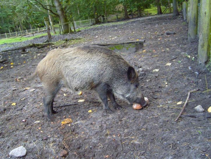 wild, boar, animal