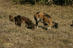 wild, boar, female, young, scrofa
