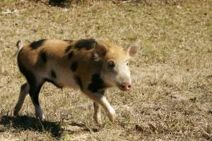 wild, boar, wild, pig, scrofa