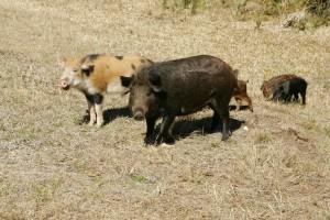 wild, hogs, family