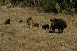 wild, pigs, family, male, female, young