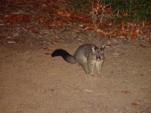 possum, animal, trichosurus, vulpecula